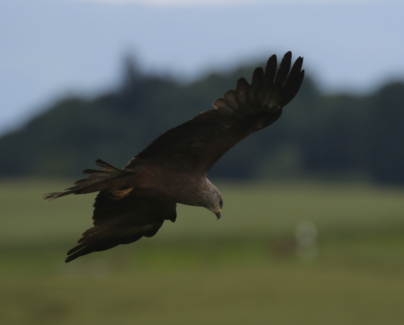 Black Kite, near Cugy, June 19, 2016