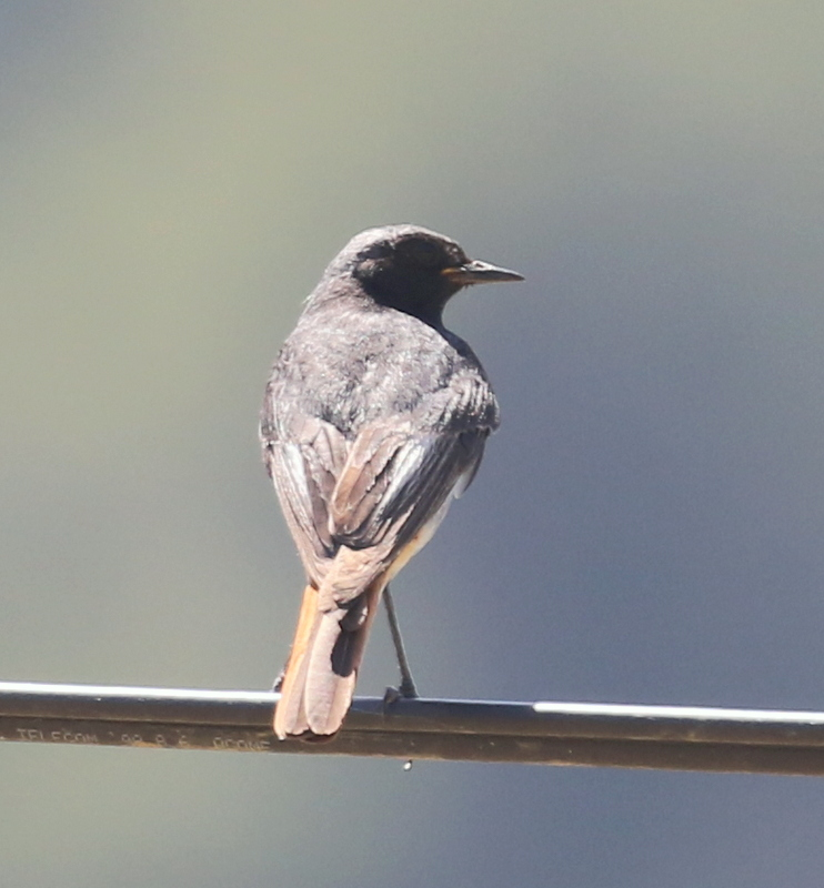 Black Redstart, Dentelles de Montmirail, France, June 23, 2016