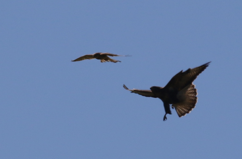 Common Buzzard being harassed by Eurasian Kestrel, France, June 24, 2016