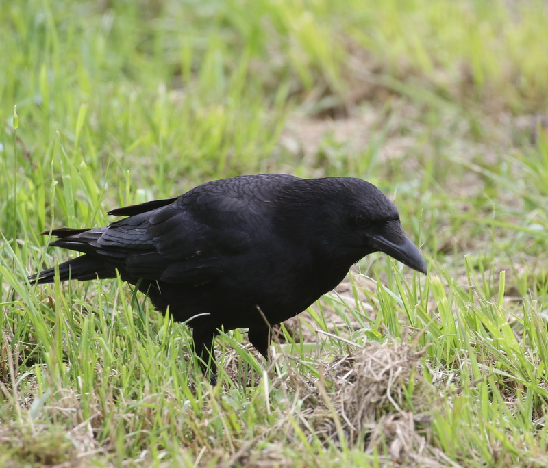 Carrion Crow, Fanel, June 18, 2016