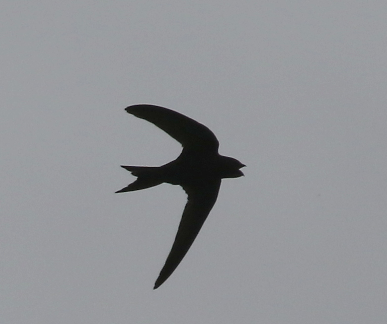 Common Swift, near Zurich, Switzerland, June 16, 2016