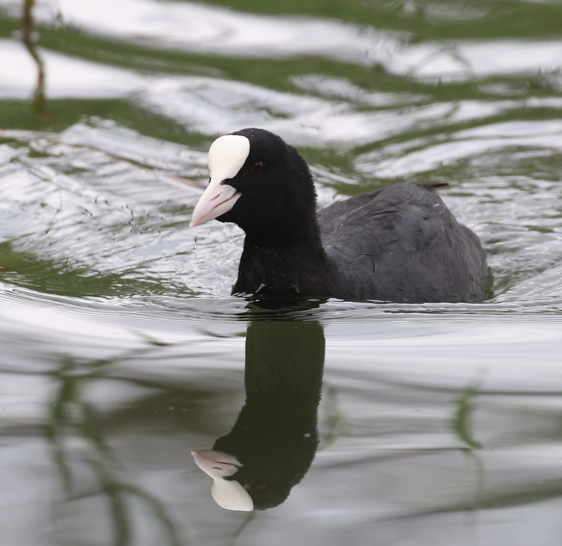European Coot, near Zurich, Switzerland, June 16, 2016