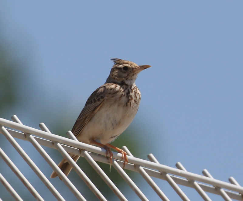 Crested Lark, The Crau, France, June 22, 2016