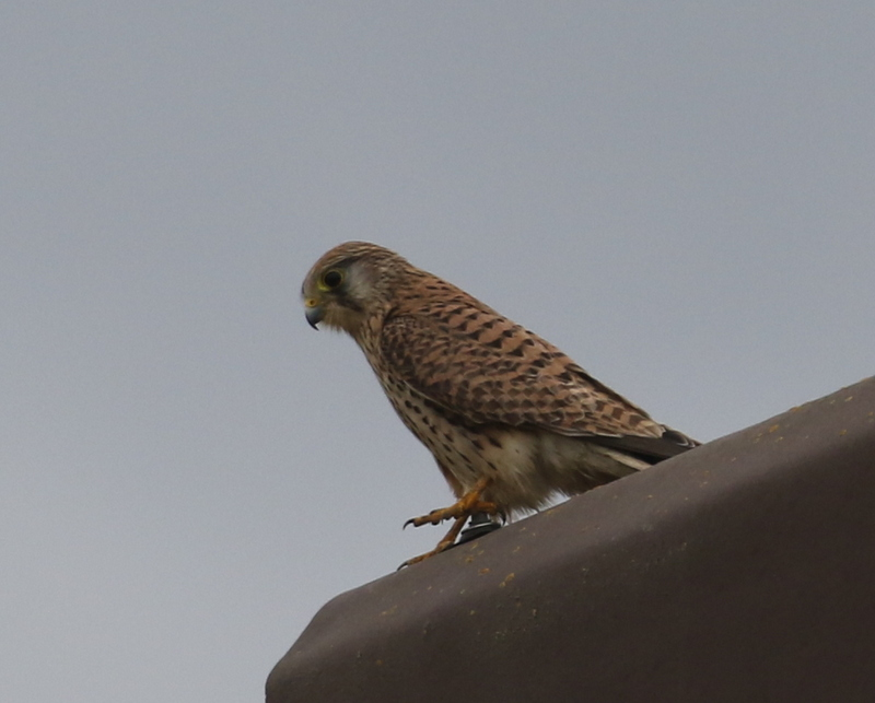 Eurasian Kestrel, near Zurich, Switzerland, June 16, 2016