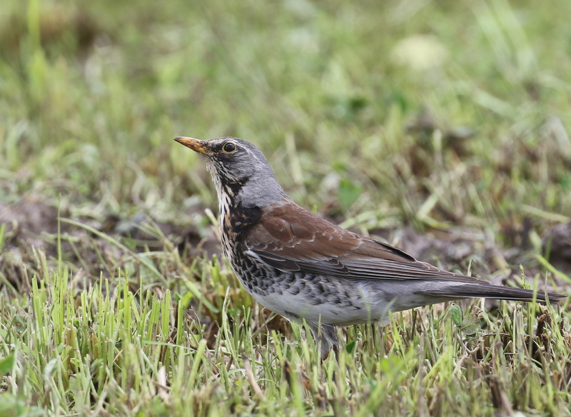 Fieldfare, near Zurich, Switzerland, June 16, 2016