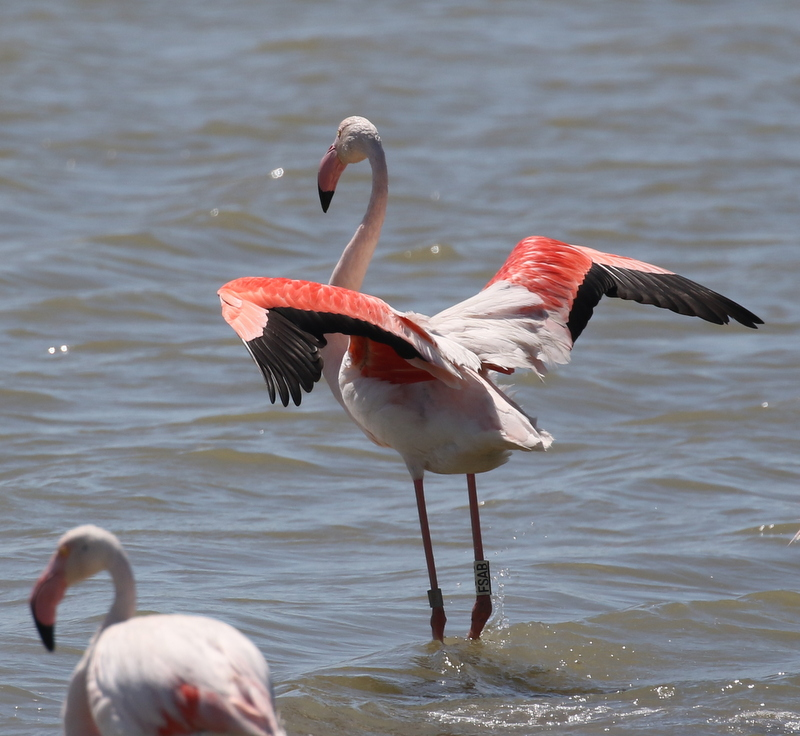 Greater Flamingo, Camargue, France, June 21, 2016