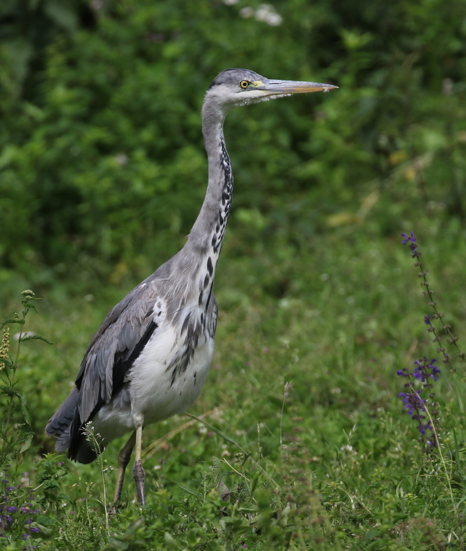 Gray Heron, La Sauge Nature Center, June 18, 2016