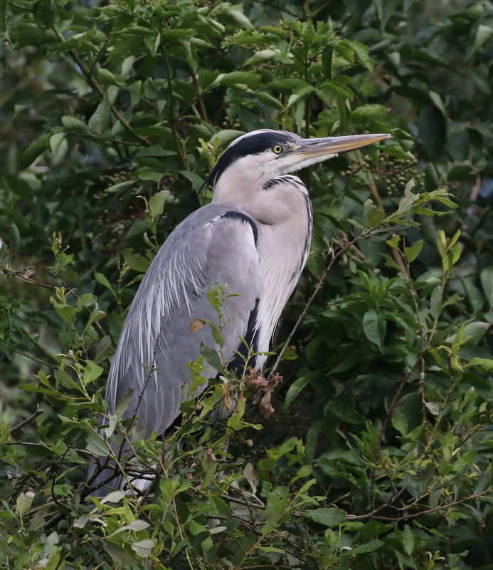 Gray Heron, The Dombes, France, June 25, 2016
