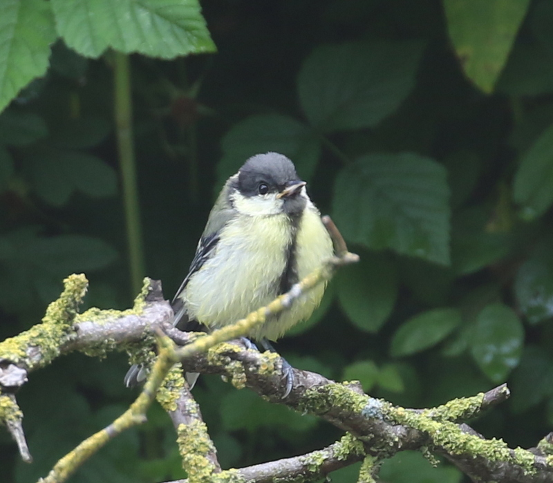 Great Tit, La Sauge Nature Center, June 18, 2016