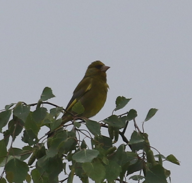 European Greenfinch, near Zurich, Switzerland, June 16, 2016
