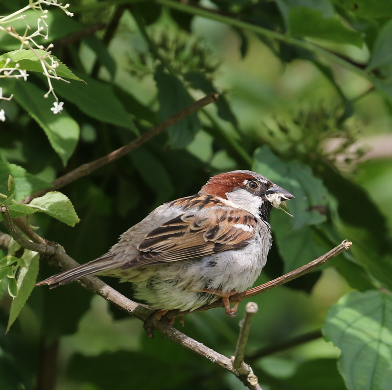 House Sparrow (they're native here!), La Sauge Nature Center, June 18, 2016