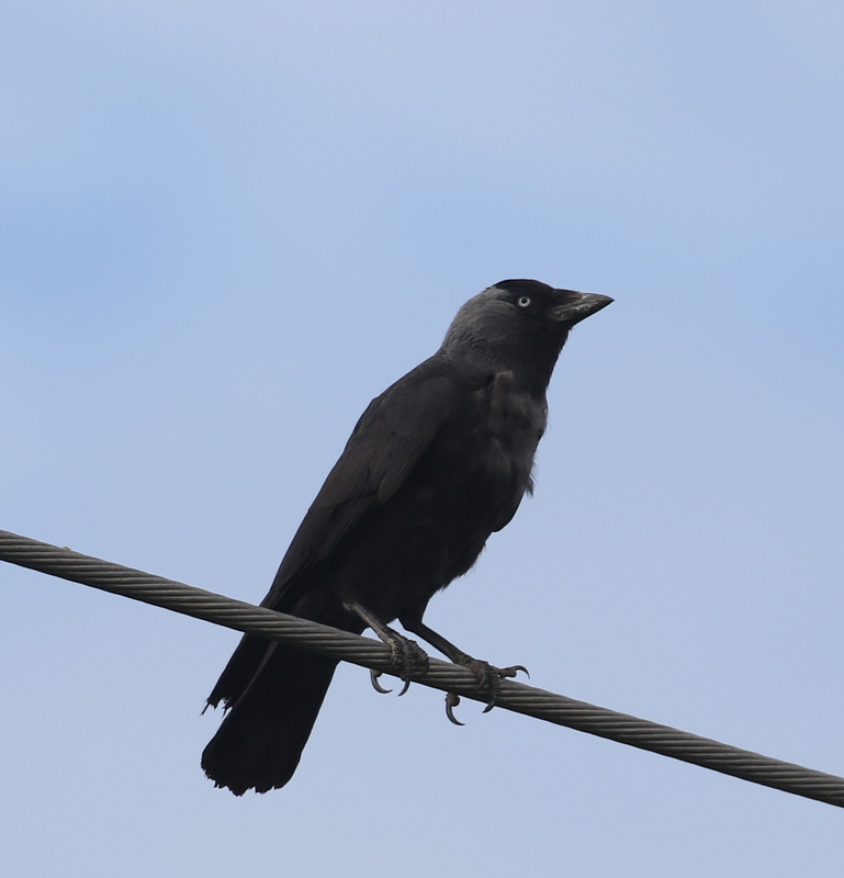 Eurasian Jackdaw, Camargue, France, June 21, 2016
