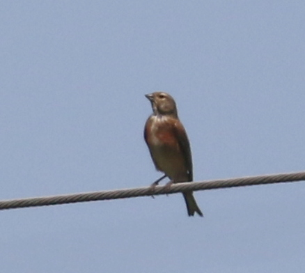 Linnet, Old Island Marsh, France, June 23, 2016
