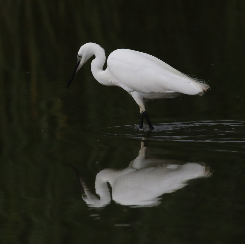 Little Egret, Camargue, France, June 21, 2016