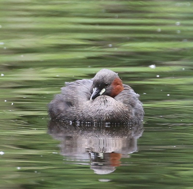 Little Grebe, Auried at Kleinbosingen, June 18, 2016
