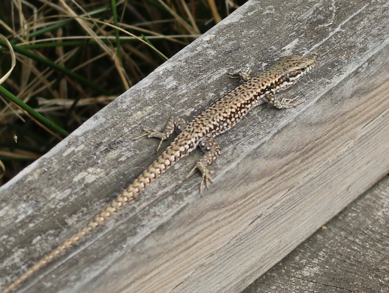 Lizard, Camargue, France, June 21, 2016