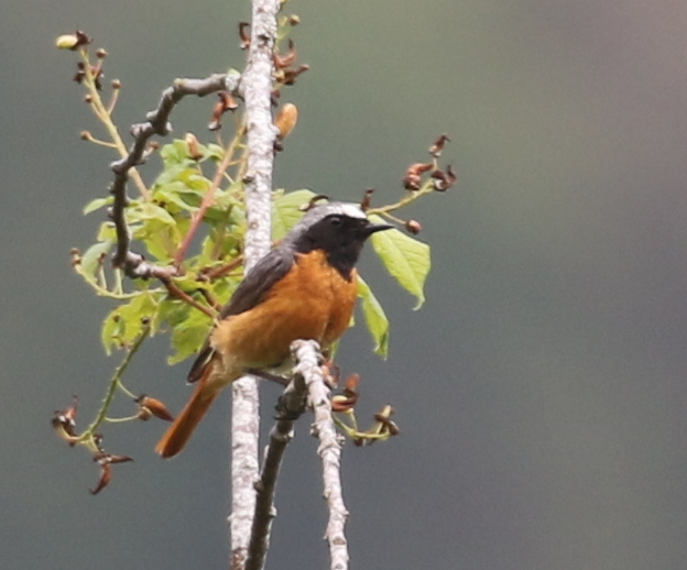 Redstart, Vallee de Joux, June 19, 2016