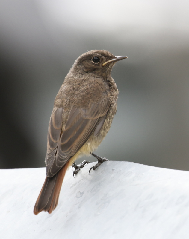 Juvenal Black Redstart, Leuk, Switzerland, June 26, 2016
