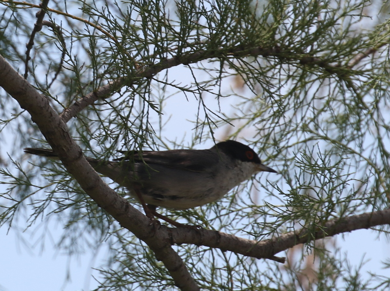 Sardinian Warbler, Camargue, France, June 21, 2016