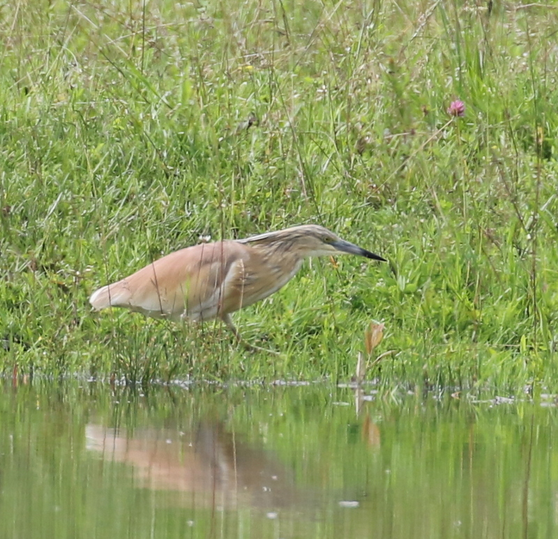 Squacco Heron, La Sauge Nature Center, June 18, 2016