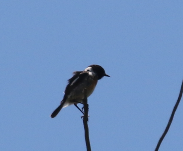 Stonechat, Camargue, France, June 21, 2016