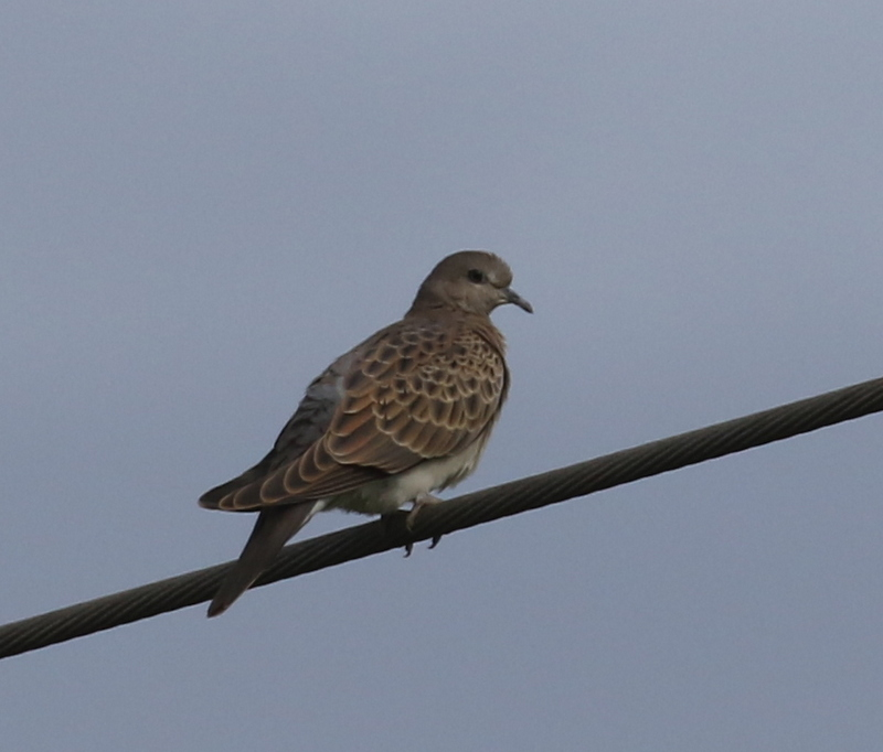 Turtle Dove, Camargue, France, June 21, 2016