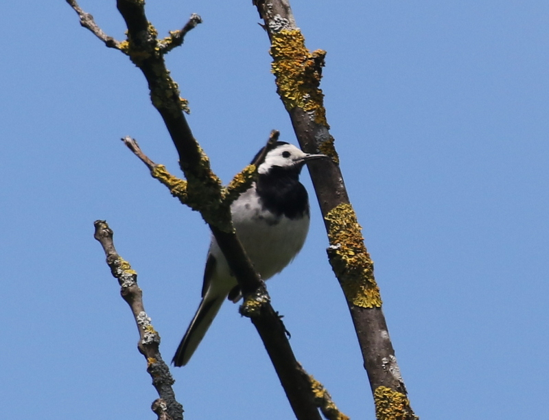 White Wagtail, near Zurich, Switzerland, June 16, 2016
