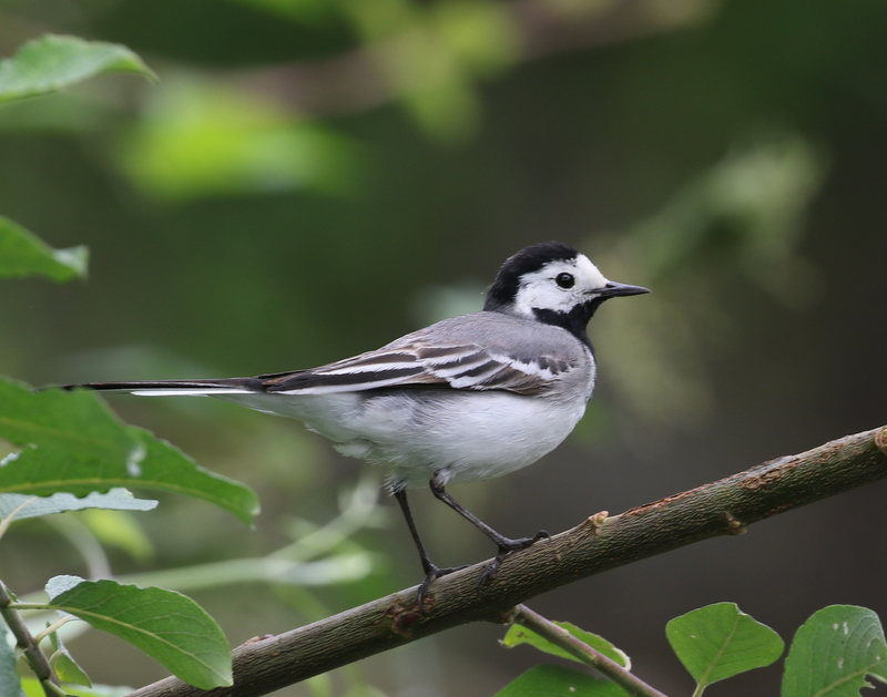 White Wagtail, La Sauge Nature Center, June 18, 2016