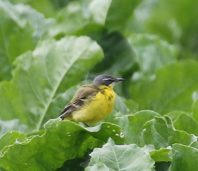 Yellow Wagtail, Chavornay, June 19, 2016