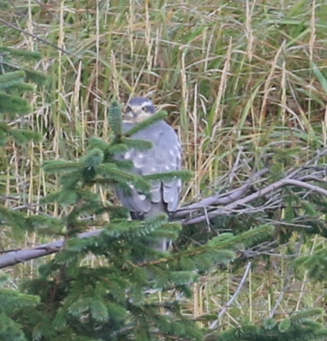 Northern Goshawk, High School Spruces, September 21, 2016