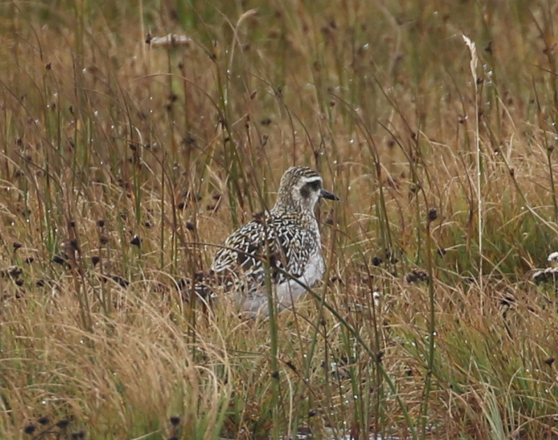 Pacific Golden-Plover, East Side Ponds, September 14, 2016