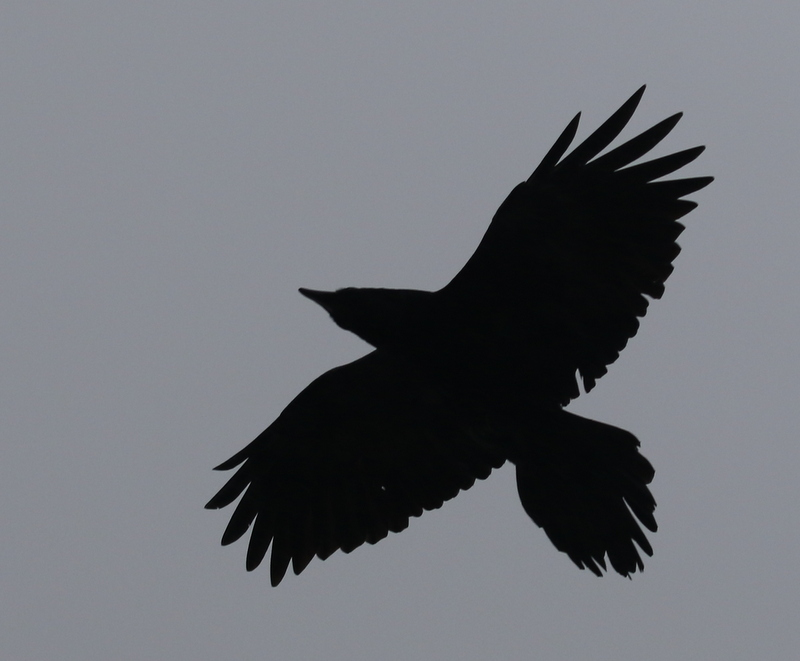 Common Raven, White Alice, September 15, 2016
