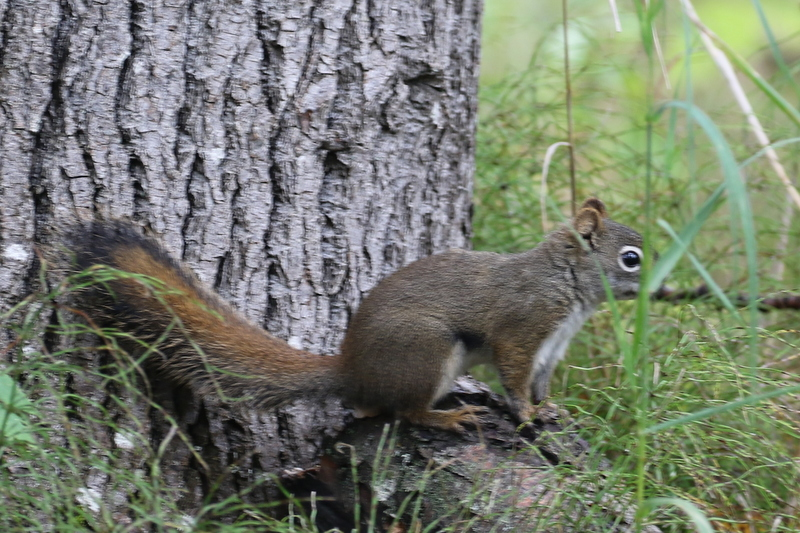 Red Squirrel, Potters Marsh, Anchorage, Sept 8, 2016