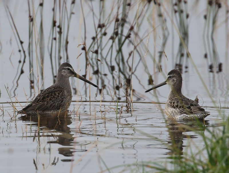 Long-billed Dowitchers, Contractors Camp Marsh, September 14, 2016
