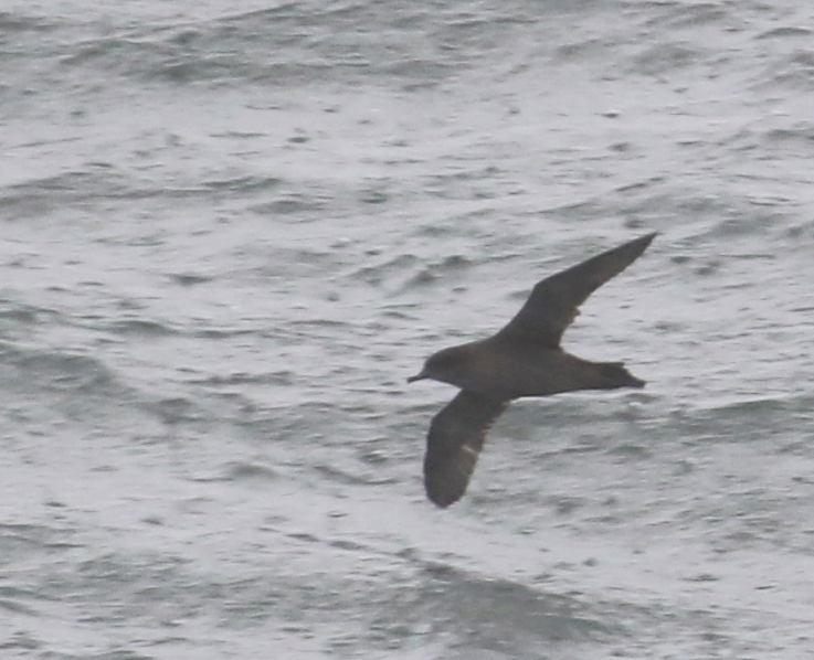 Short-tailed Shearwater, Kuluk Bay, Sept 9, 2016