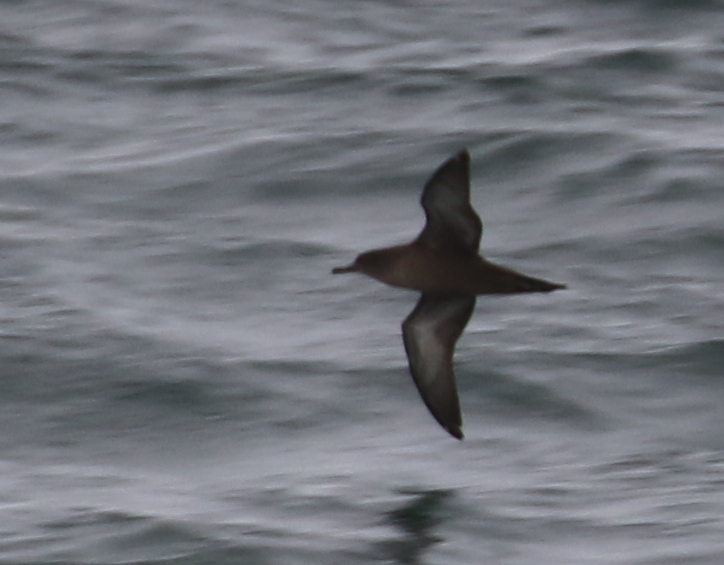 Short-tailed Shearwater, Seawall, Sept 8, 2016