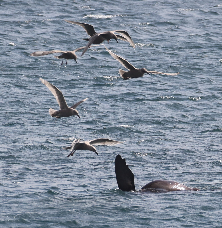 Steller's Sea Lion with Glaucous-winged Gulls, Seawall, September 19, 2016