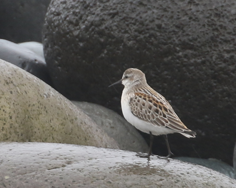 Western Sandpiper, Seawall, September 14, 2016