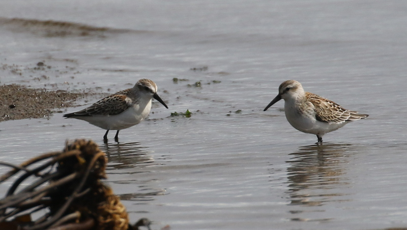 Western Sandpipers, Clam Lagoon, Sept 11, 2016