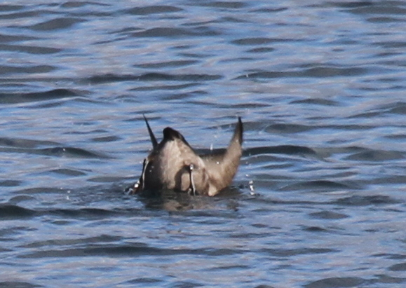 Crested Auklet diving, off the Sweeper Cove breakwater, Sept 24, 2014