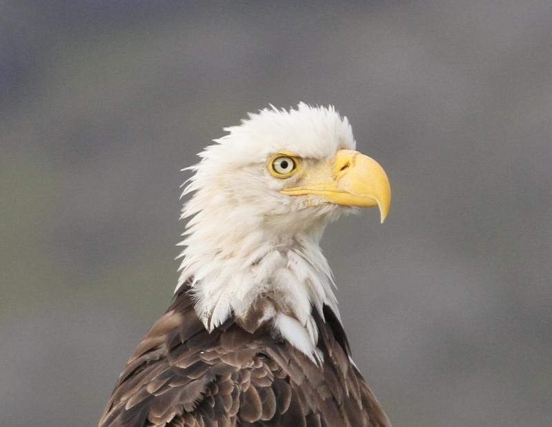 Bald Eagle, Adak, Sept 22, 2015.