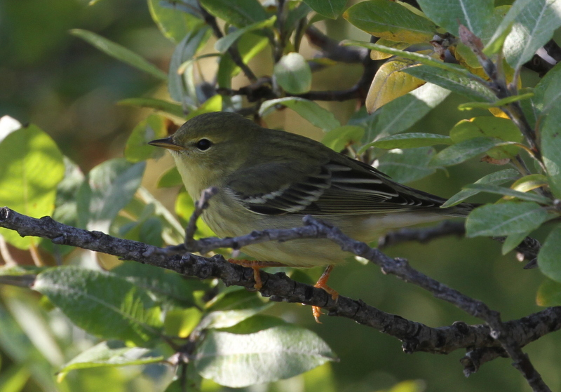 Blackpoll Warbler, Warbler Willows, Sept 29, 2015.