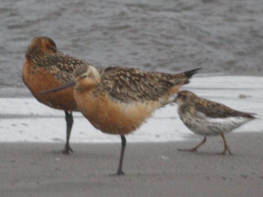 Bar-tailed Godwit and Rock Sandpiper, May 27, 2005, Landing Lights Beach.
