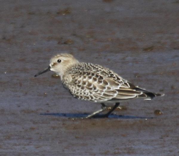 Baird's Sandpiper, Clam Lagoon, Sept 13, 2013.