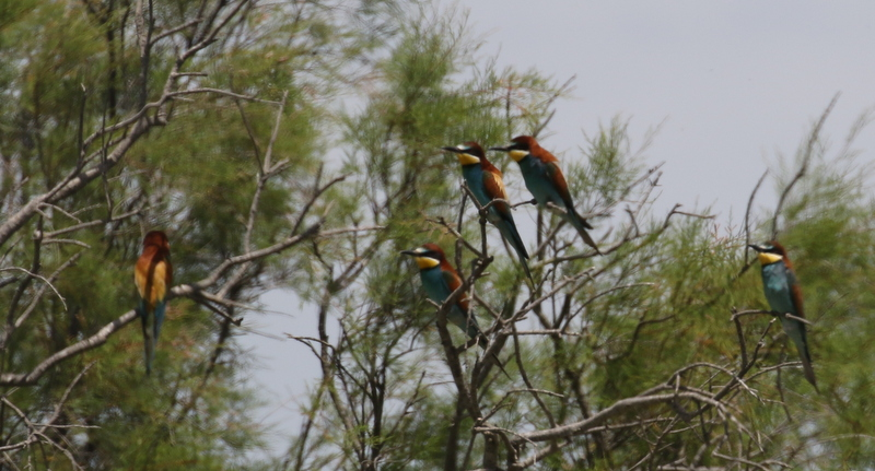 Bee-eaters, Camargue, France, June 21, 2016