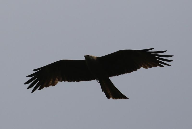 Black Kite, Auried at Kleinbosingen, June 18, 2016