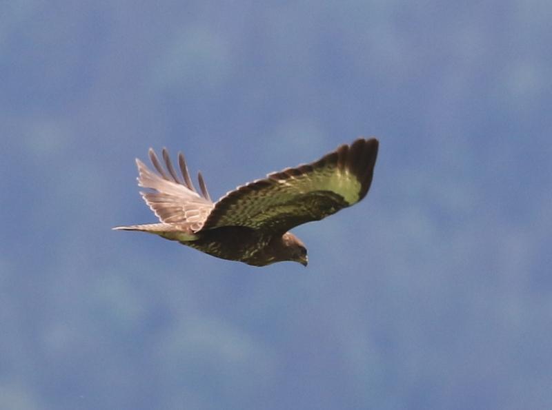 Common Buzzard, near Cugy, June 19, 2016