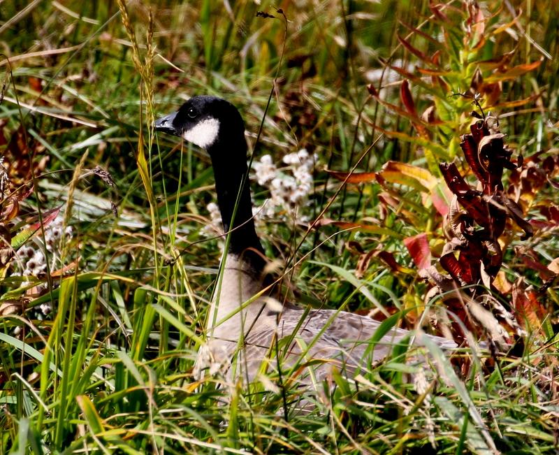 Cackling Goose, Palisades Overlook, September 20, 2016