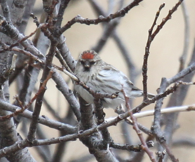 Common Redpoll, May 13, 2010, Adak National Forest.