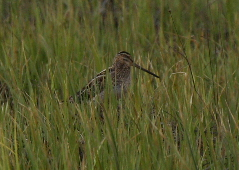 Common Snipe, May 25, 2007, Contractor's Camp Marsh.